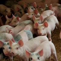 SureMountain-Agricultural-Insulation-Pig-Farm